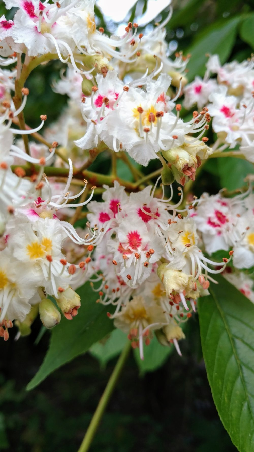 horse chestnut blossoms