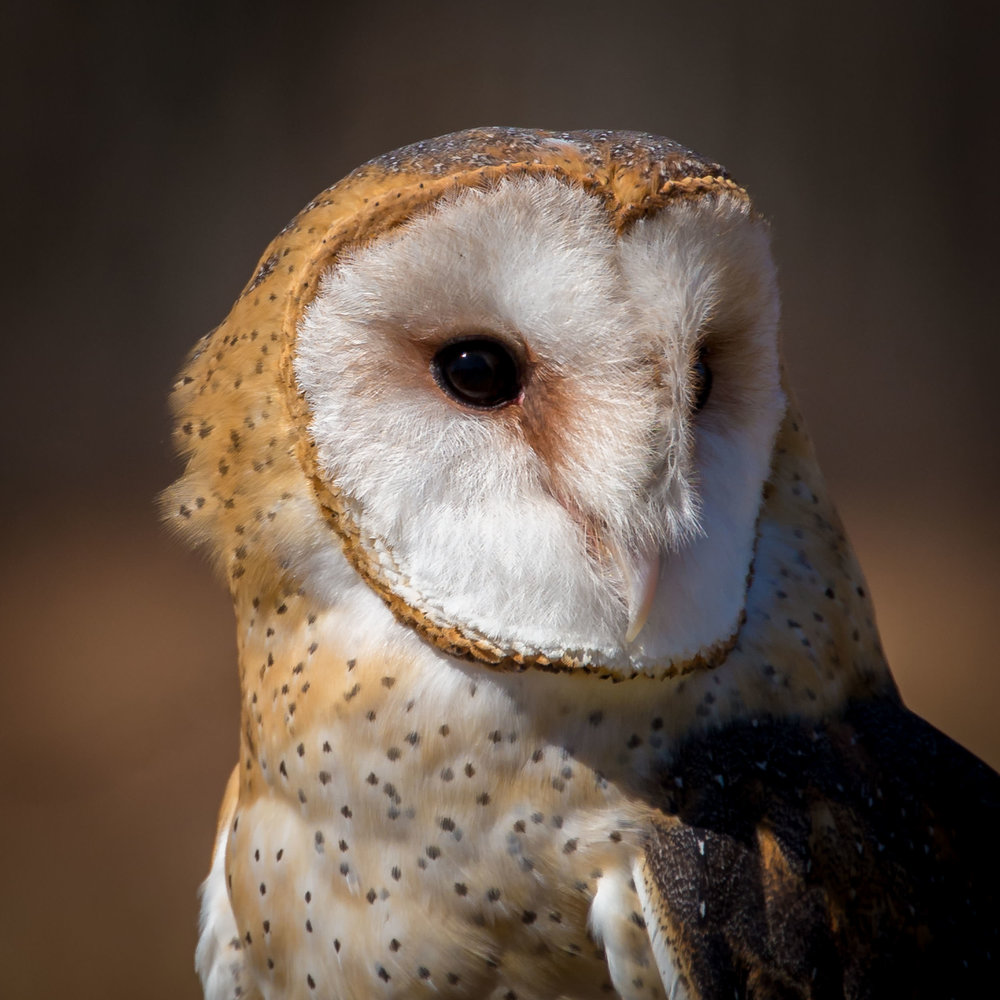 Niña, a Barn Owl at the Raptor Trust