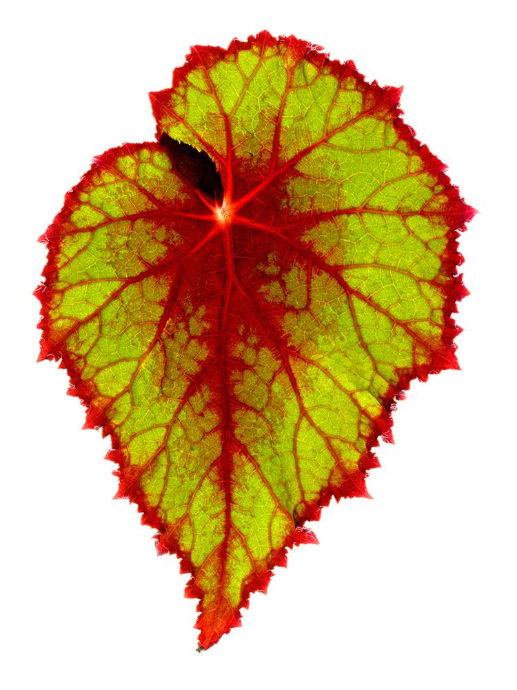 Begonia Glow