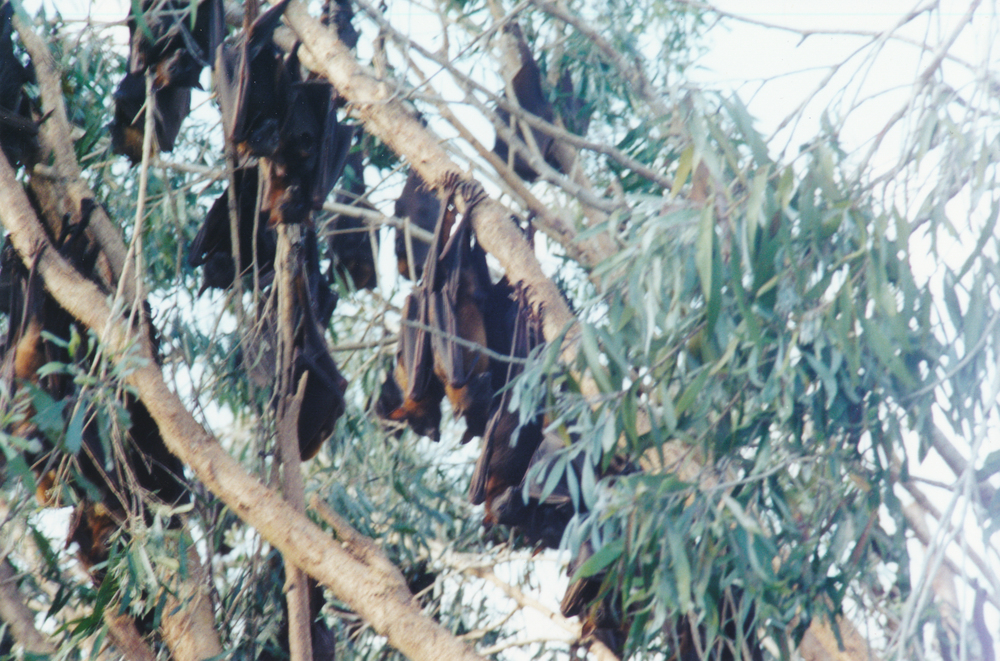 Fruit bats sleeping upside down. In this area, there were hundreds, clustered in a few trees.