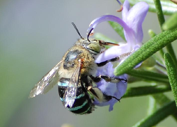 "Image credit: "" Blue-banded bee "" ( CC BY-SA 2.0 ) by     Ms_Voren"