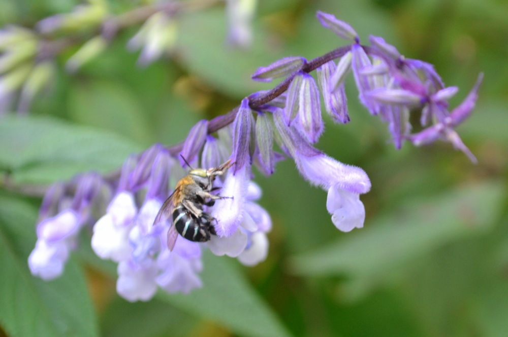 A blue-banded bee spotted in the garden