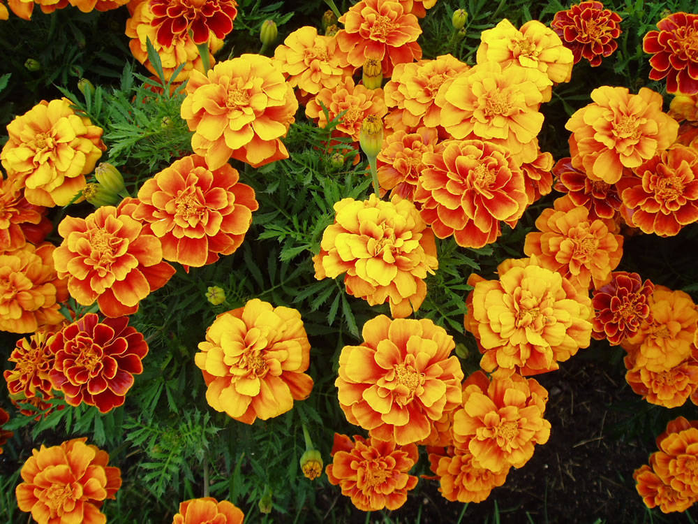 image source: http://www.stephenmorrisauthor.com/wp-content/uploads/2013/09/Marigold.jpg