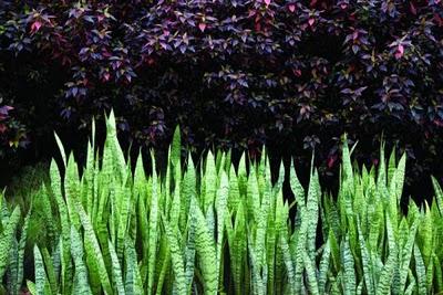 sansevieria trifasciata.jpg