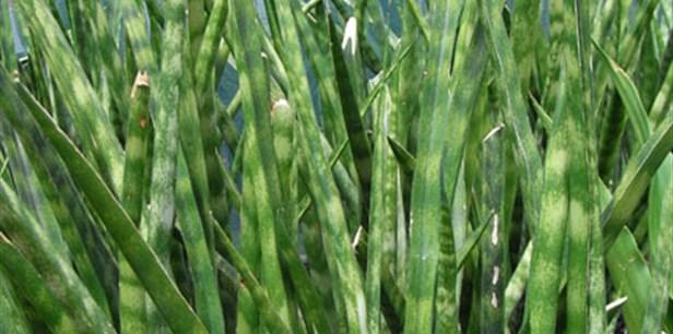 Sansevieria-trifasciata-Uganda-main.jpg