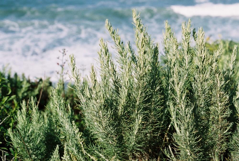 Artemisia-californica-1024x691.jpg