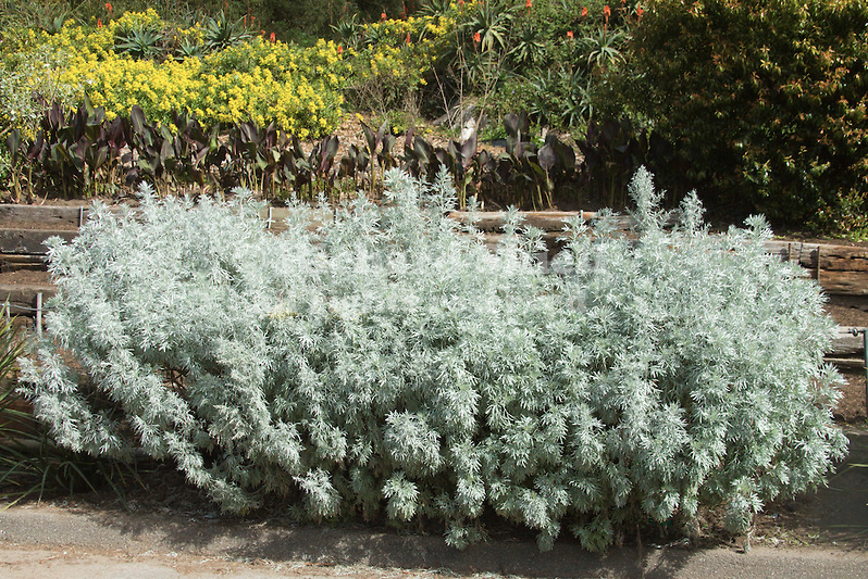 Artemisia-Beach-Wormwood-by-Richard-Shiell_richardshielll.photoshelter.com_.png
