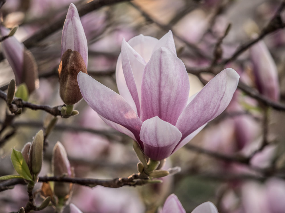 20170330_panasonic_gh5_magnolien_1004717.jpg