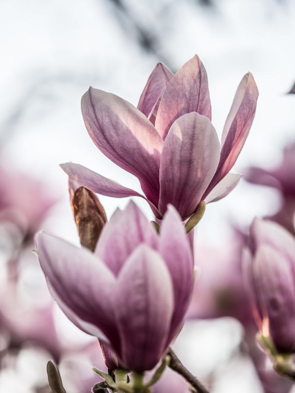 20170330_panasonic_gh5_magnolien_1004721.jpg