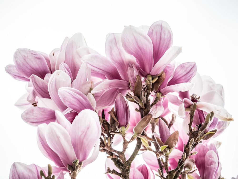 20170402_magnolien_rhein_1011035.jpg