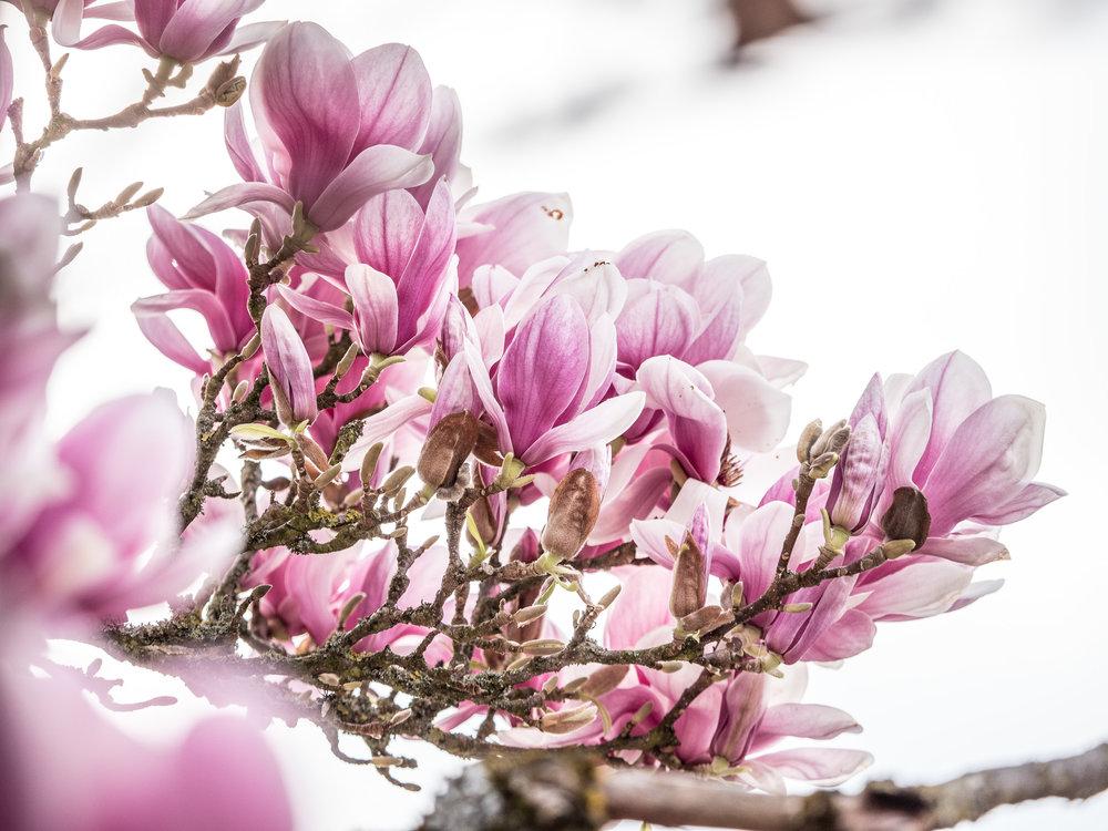 20170402_magnolien_rhein_1011040.jpg