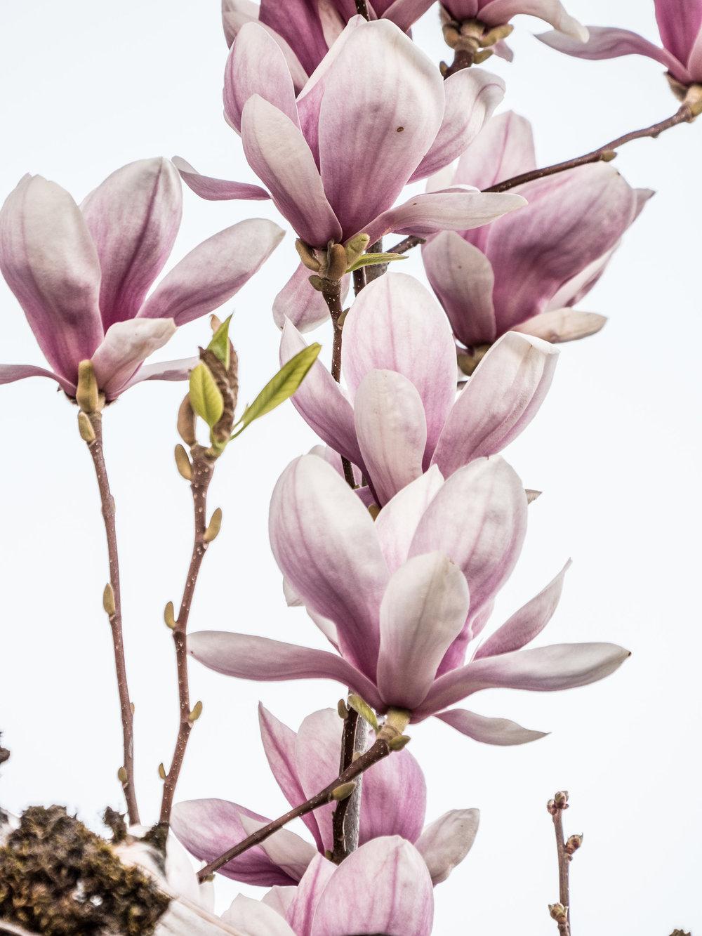 20170330_panasonic_gh5_magnolien_1004746.jpg