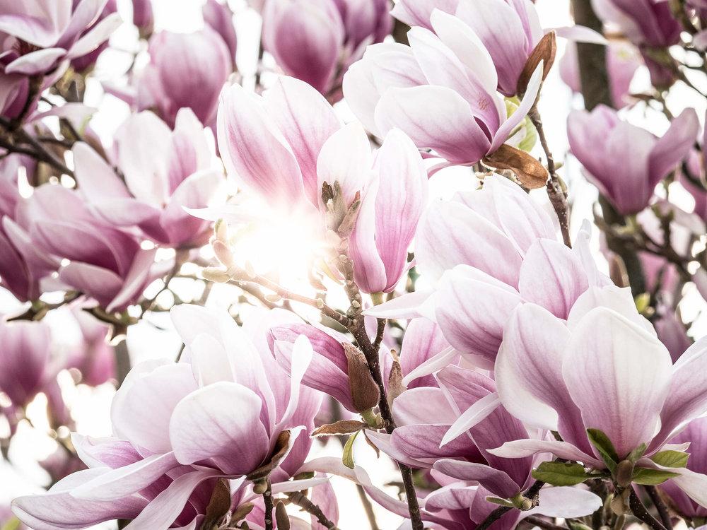 magnolien by fotograf peter schäublin schaffhausen