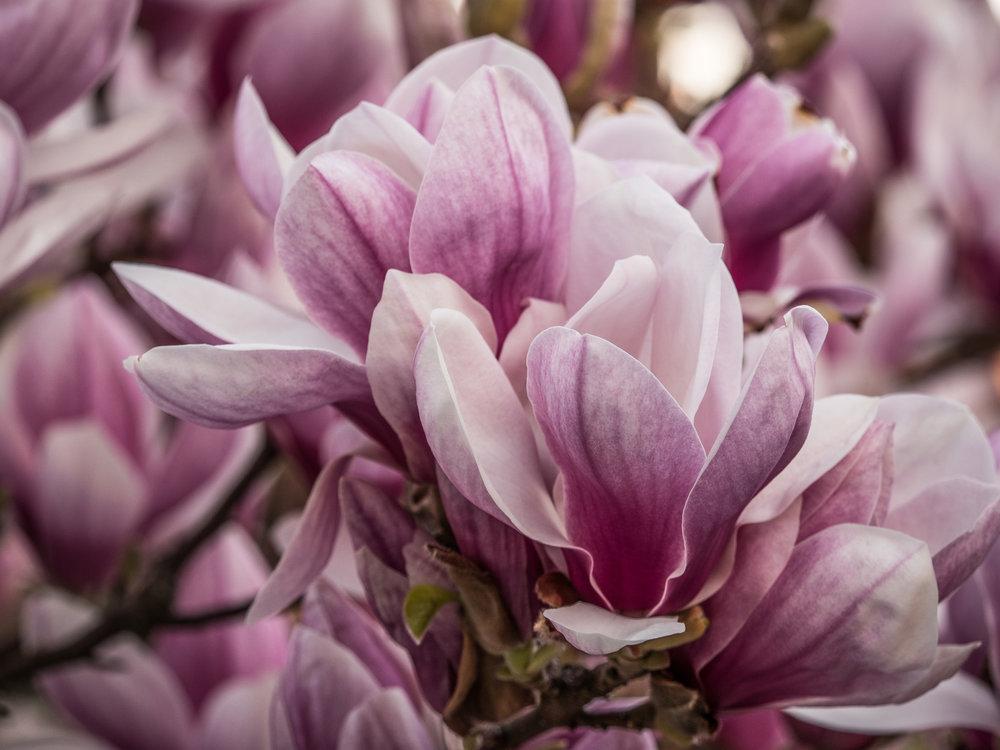 20170330_panasonic_gh5_magnolien_1004710.jpg