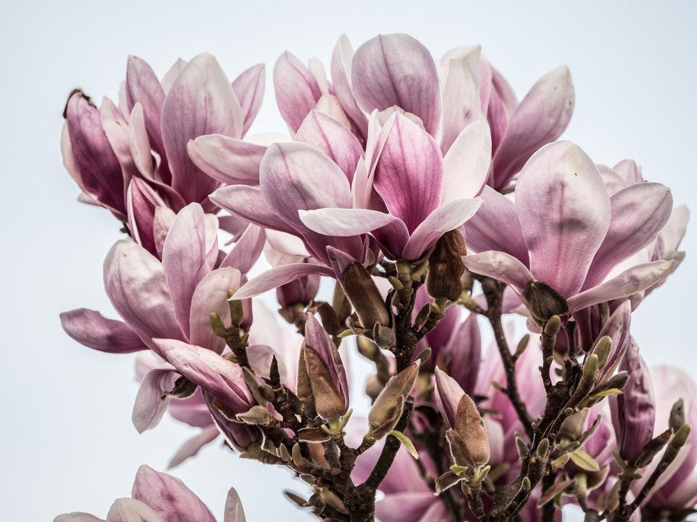 20170330_panasonic_gh5_magnolien_1004716.jpg
