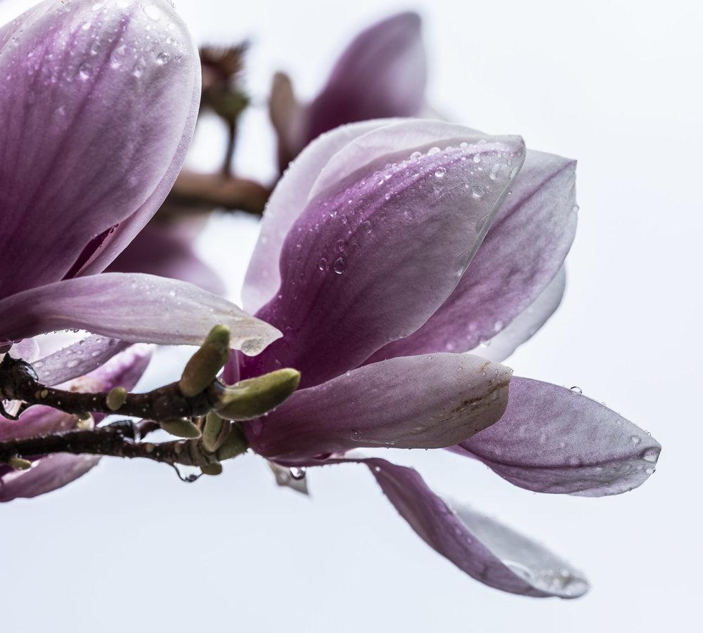 20190410_magnolia__DSF8746.jpg