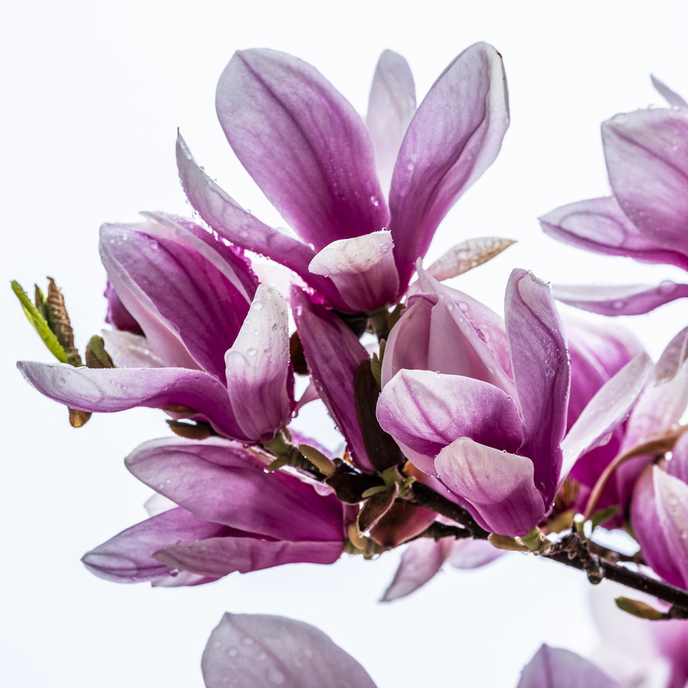20190410_magnolia__DSF8754.jpg