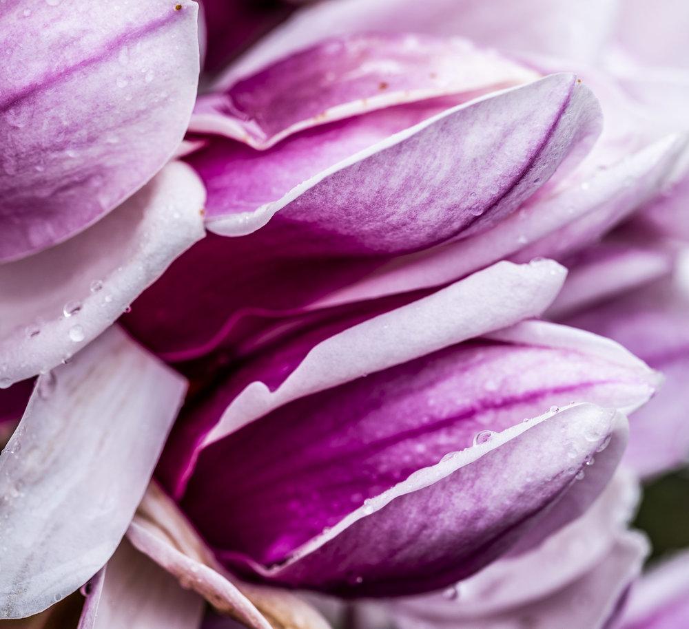 20190410_magnolia__DSF8762.jpg