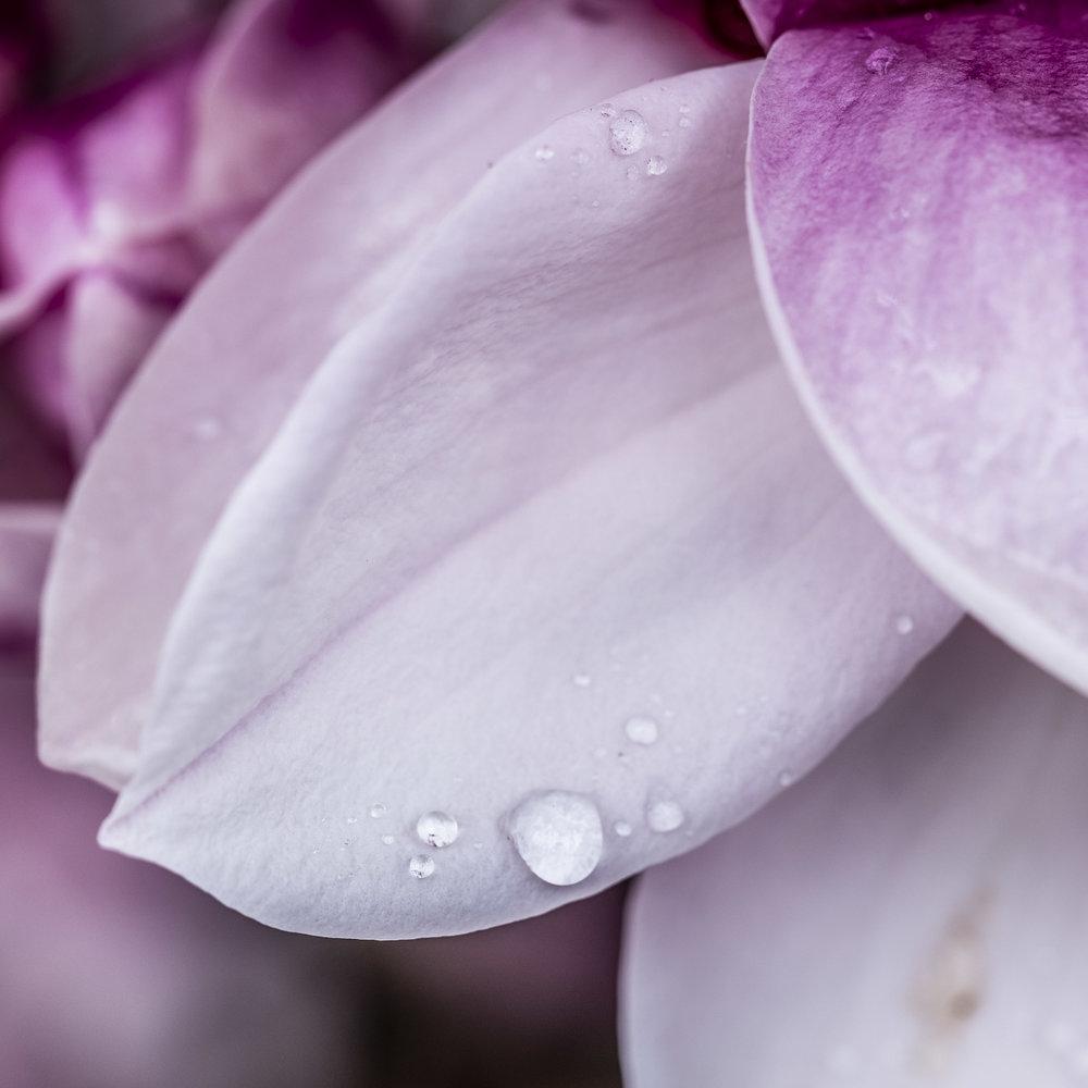 20190410_magnolia__DSF8764.jpg