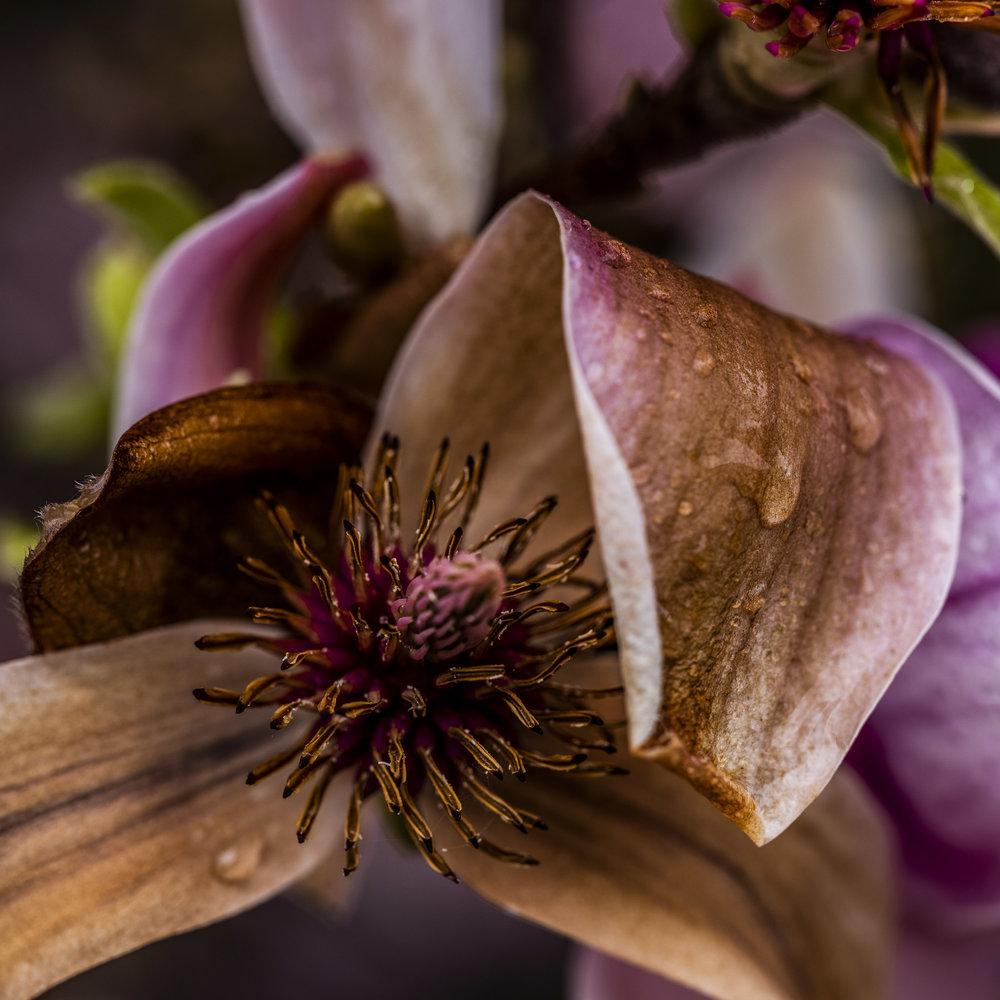 20190410_magnolia__DSF8768.jpg