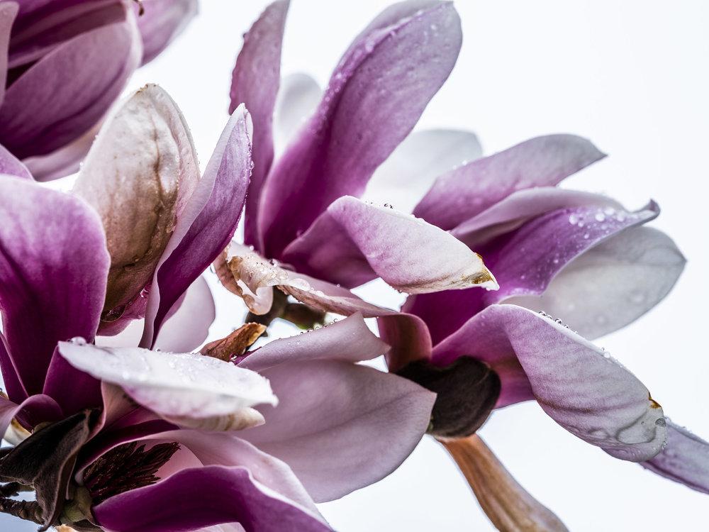 20190410_magnolia__DSF8774.jpg