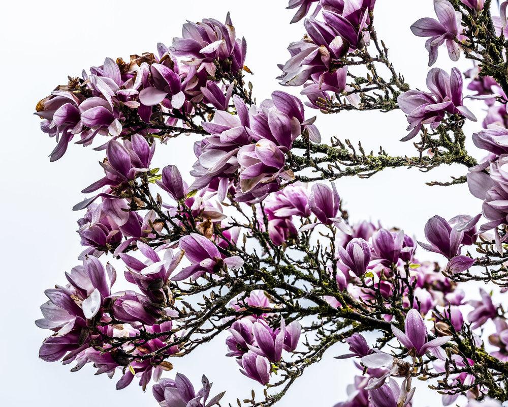 20190410_magnolia__DSF8771.jpg