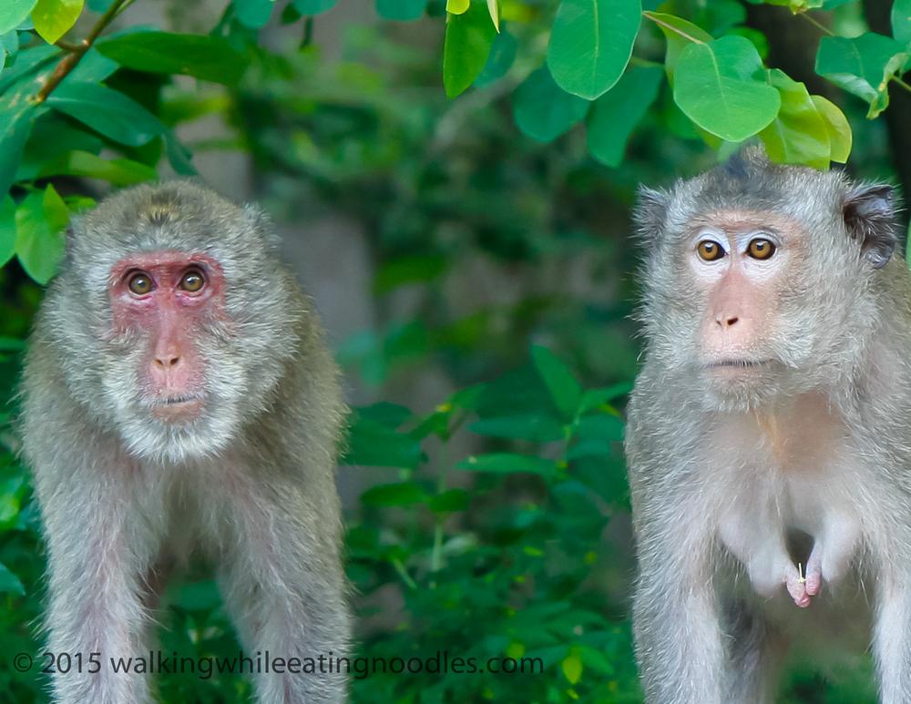 Macaques of Big Mountain, Vung Tau--Vietnam