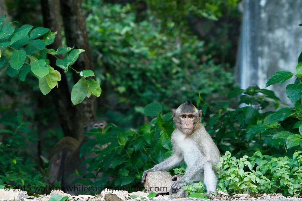 Young Macaque on Big Mountain, Vung Tau