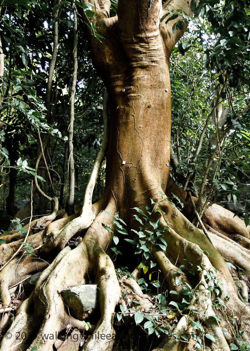 Elephant Leg Tree