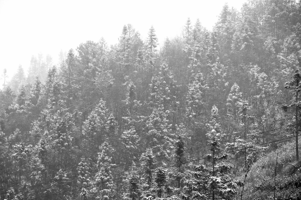 Snow Covered Tree Tops