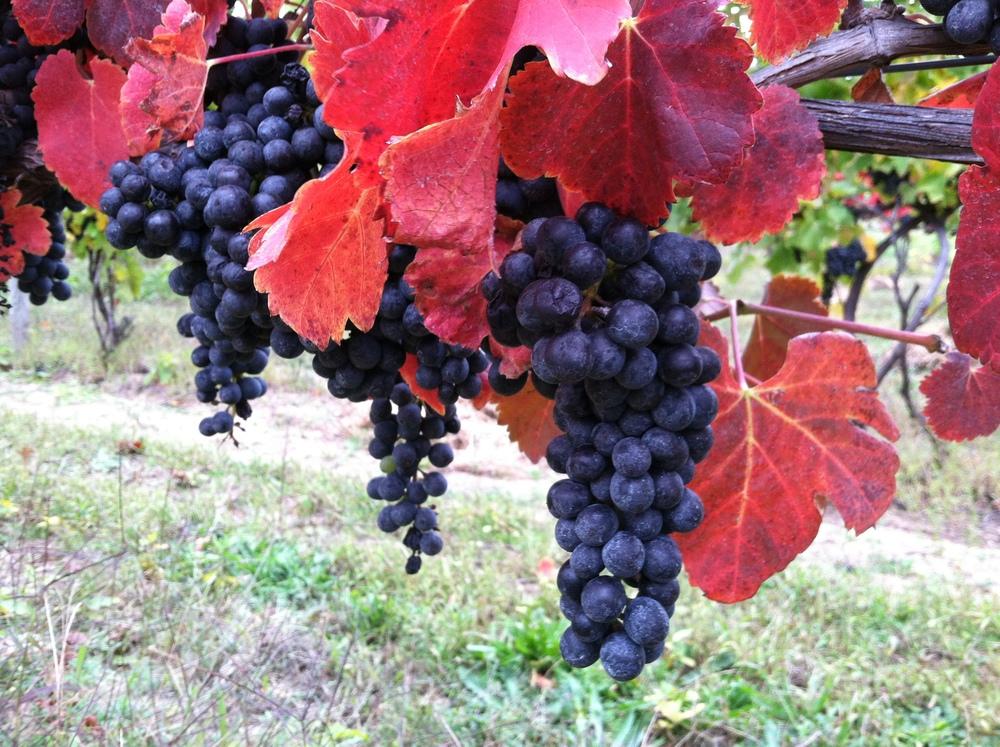 grape shot.JPG
