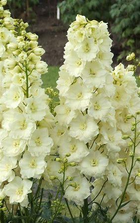 delphinium white.jpg