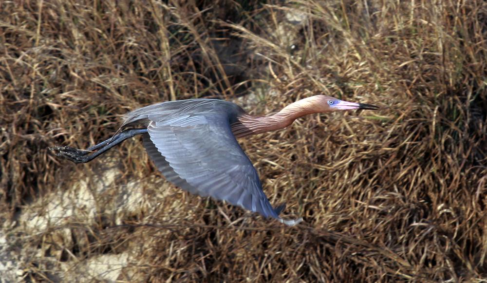 Reddish Egret II