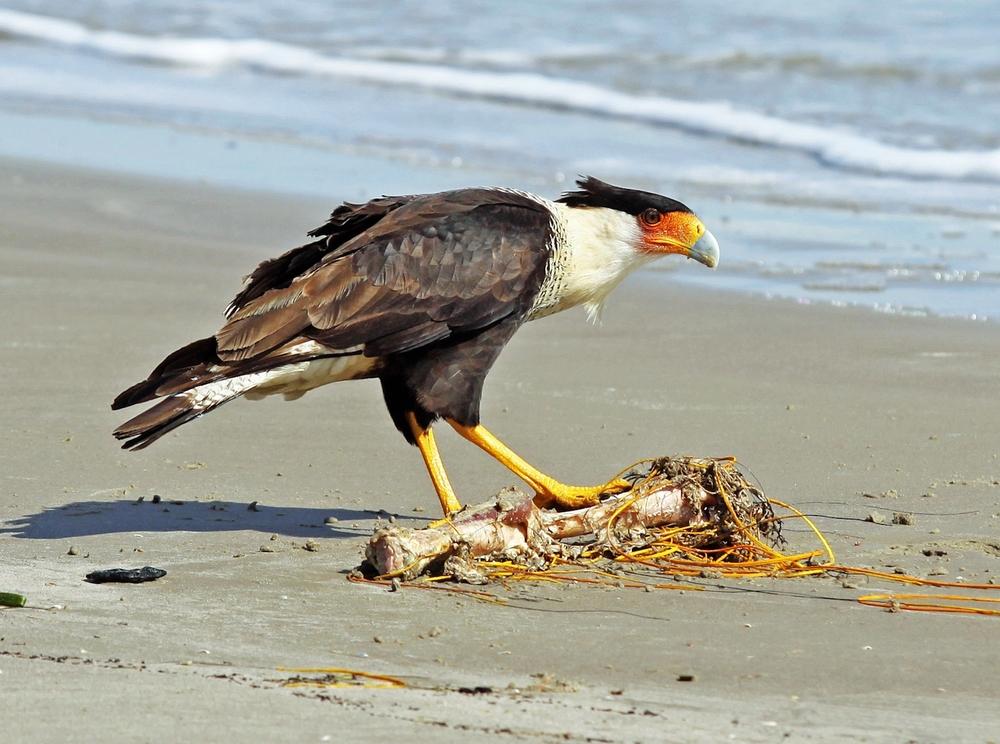 Crested Caracara Falcon N. Padre Island  TX