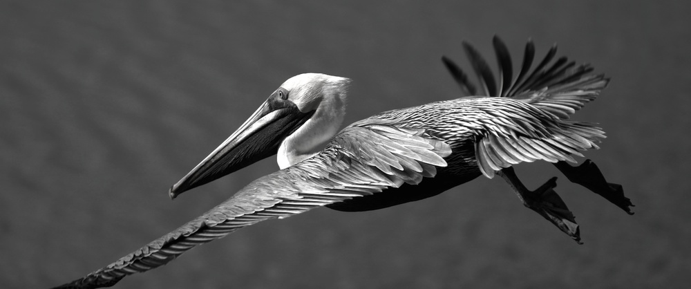 Brown Pelican III