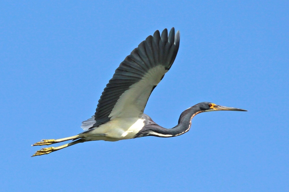 Tri-colored Heron I