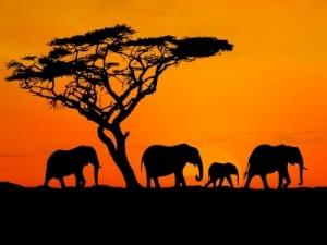 safari.elephants.africa
