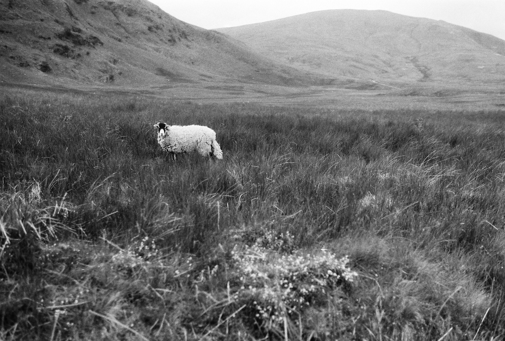 A solitary Swaledale sheep out on the fell. Each Lake District farm is granted commoner grazing rights for a set number of sheep on any given common.