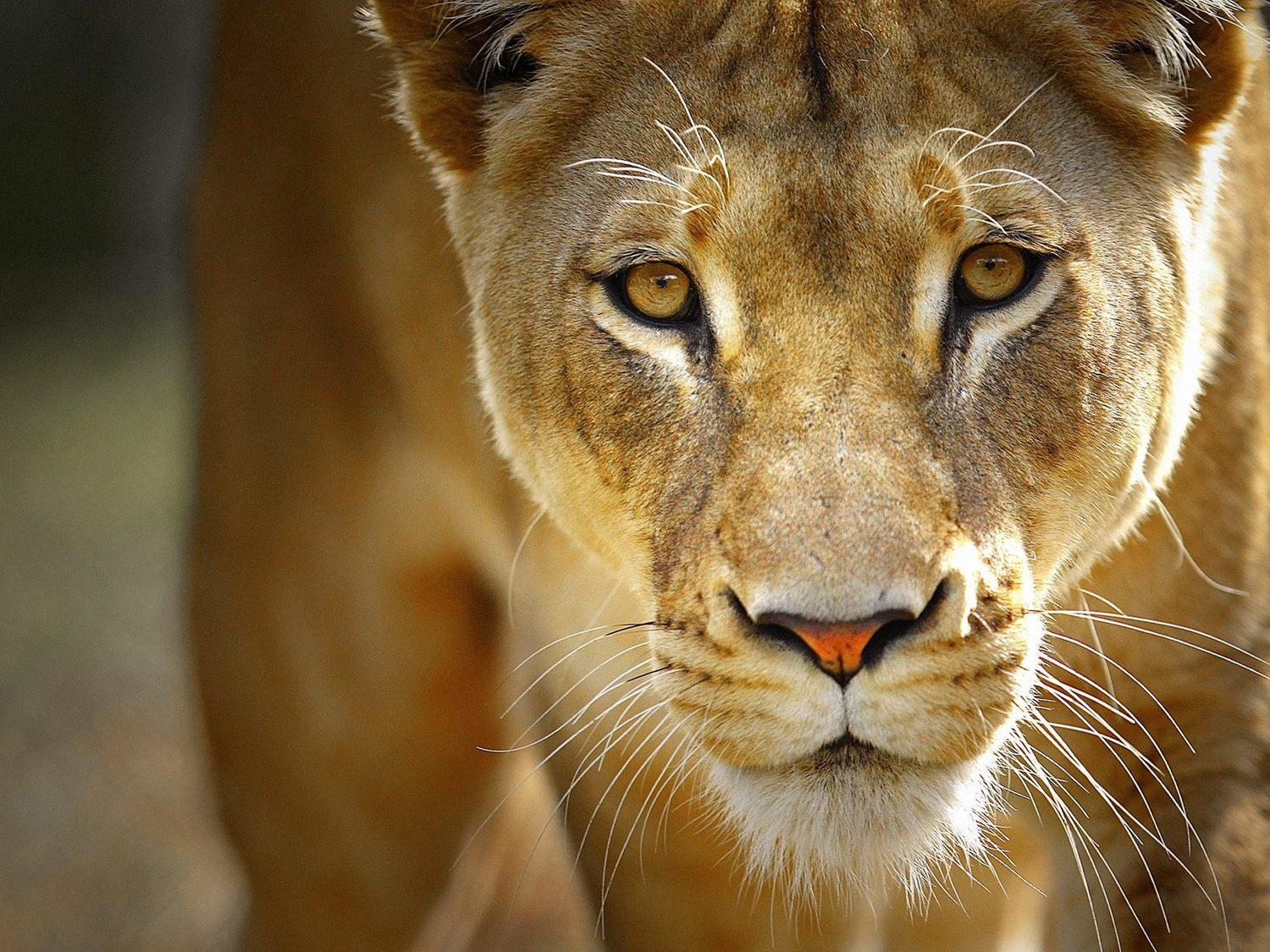 becoming the lioness going forth