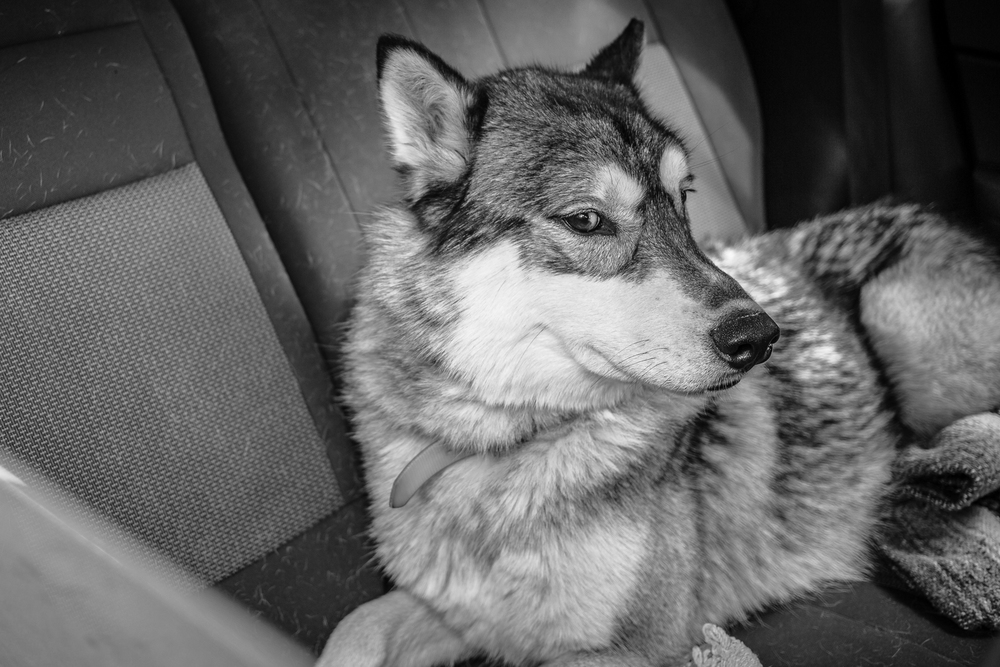 "I took a look in the back seat and said to the owner in the front, ""That's a hybrid, isn't it?""  She smiled and said, ""Yup.""  I know enough about dogs - and wolves - to know it would not have ended well if my camera went any further into the car."