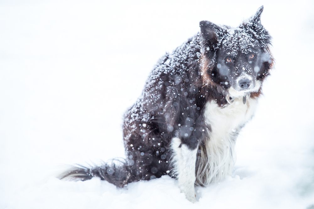 "Do not let him fool you - my neighbor's Border Collie, Gus, is a tough cookie who has shelter but prefers to stay outside in all types of weather.  Speaking of cookies, that is his ""Mrs. Richer, can I get a cookie, please?"" look - and yes, I give him treats."
