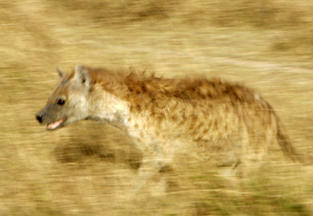 A hyena prowls the plains of the Serengeti looking for a few laughs.