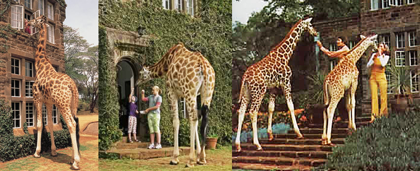 Images courtesy of The Giraffe Manor