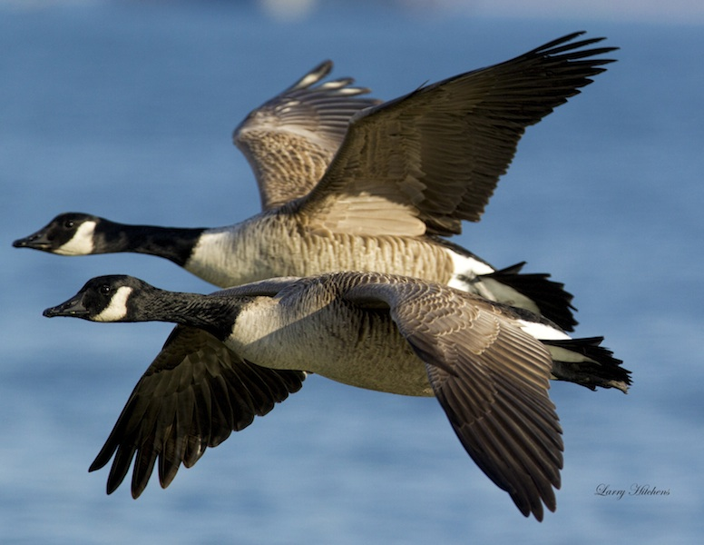 Canada-Geese-4-small.jpg