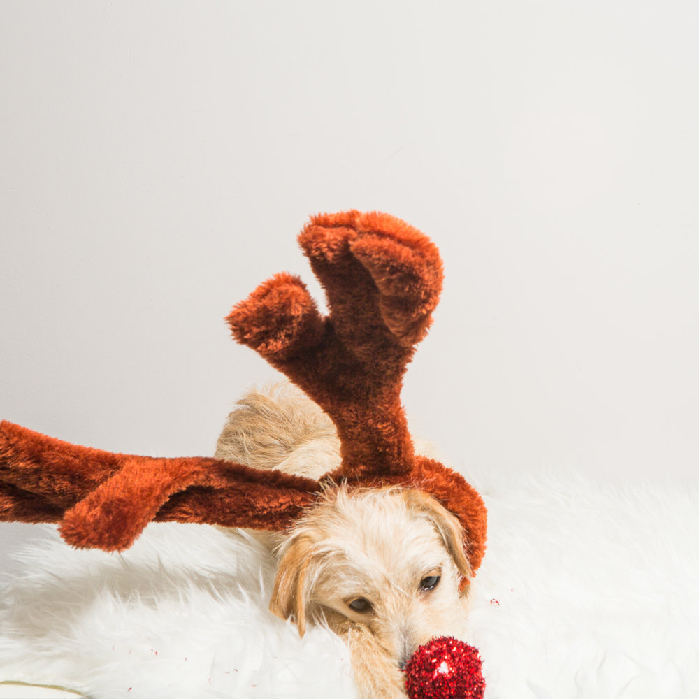 Bolandia Blogger Vancouver - Dog Christmas Costumes-9462