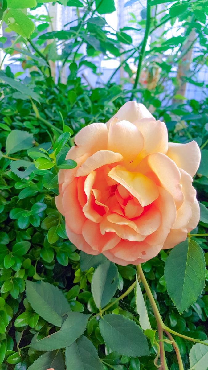 David Austin Heirloom Roses