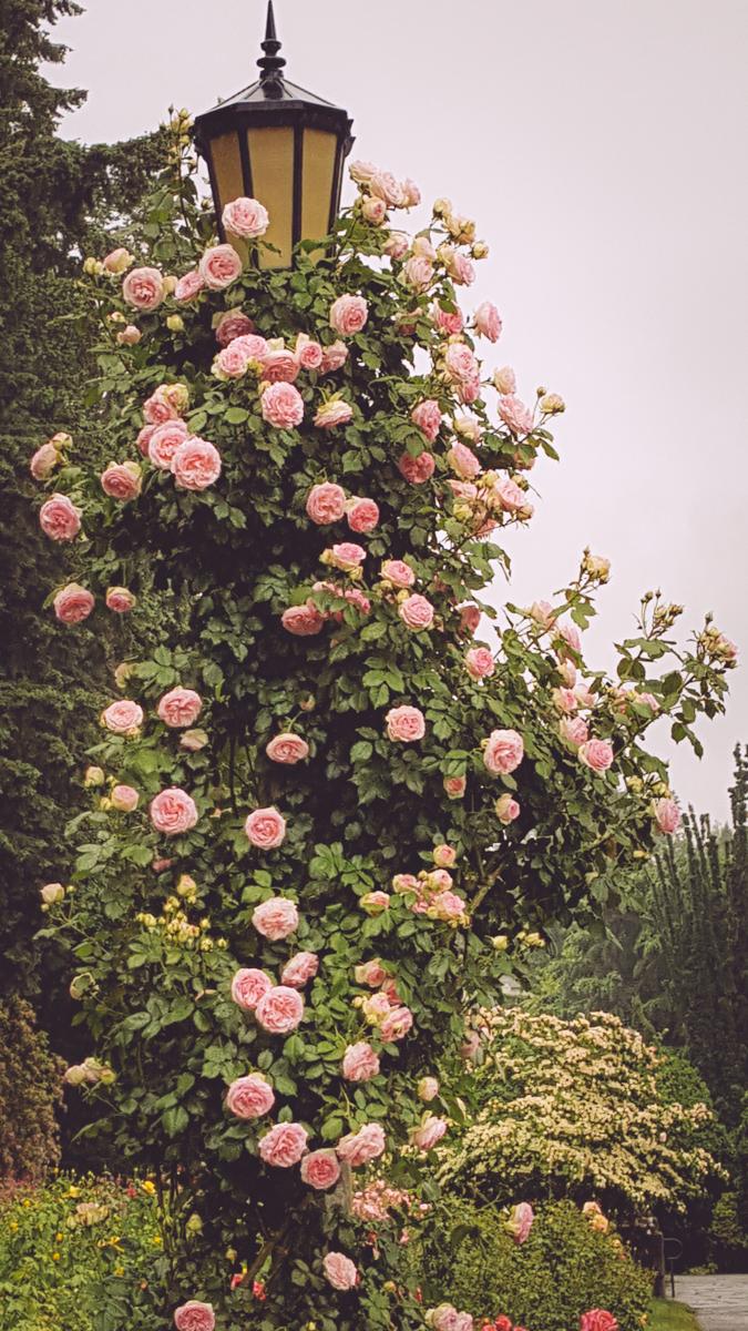 Rose Garden/ Narnia
