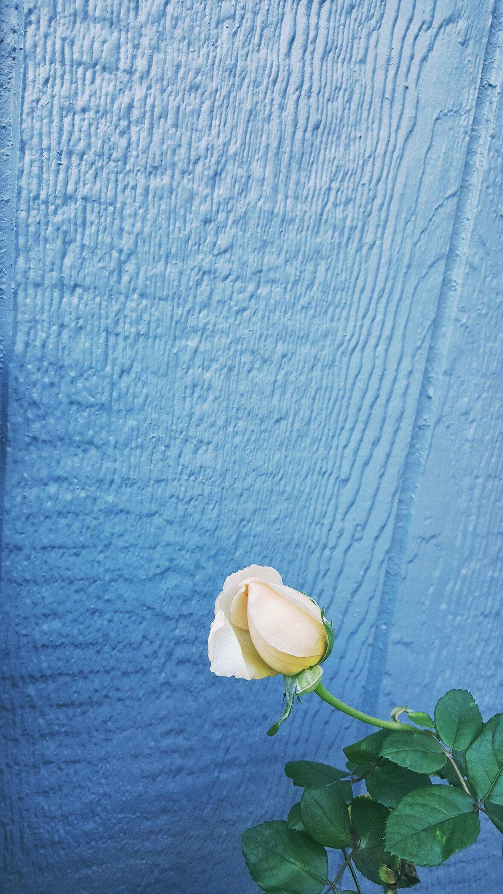 Cream-Rose-Blue-Wall-Negative-Space.jpeg