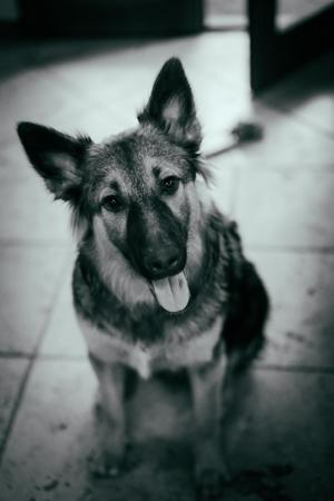 Dutch Shepard puppy