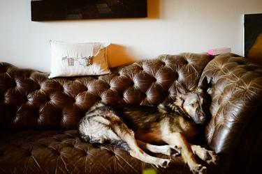 Dutch Shepard Puppy photo